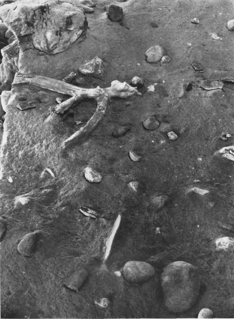 Пол «хижины» вТерра-Амата. Видны гальки— материал для орудий; отщепы; рог оленя. Источник: Lumley H. de. A Paleolithic Camp at Nice // Scientific American 220 (1969), p. 46.