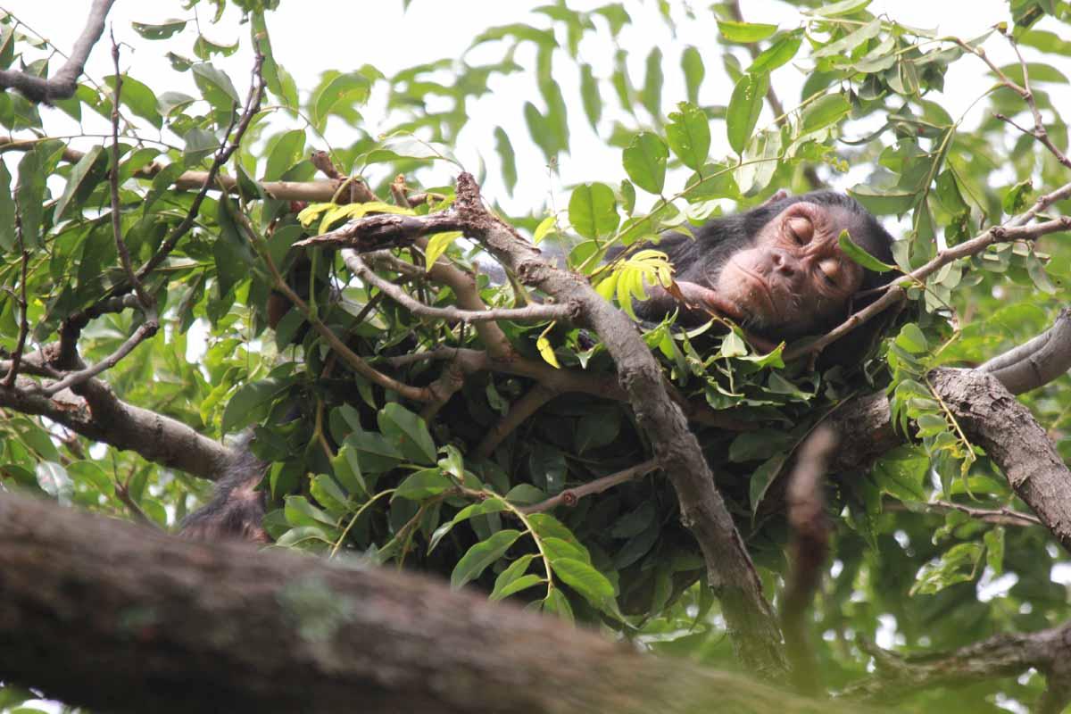 Шимпанзе вгнезде.