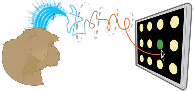 Входе эксперимента обезьяны управляли движением курсора наэкране как при помощи НКИ, так ипростыми нажатиями насенсорный экран. Скорость работы при использовании НКИ была лишь на10% медленнее, чем при работе руками.