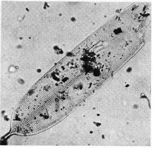 Фрагмент Крыла бабочки из Шанидар IV (образец грунта 313). Увеличено в400 раз. Источник: Leroi-Gourhan 1975, p. 563