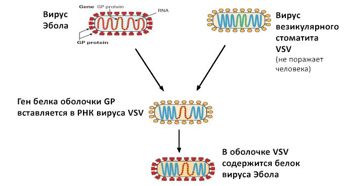 Вакцина представляет собой вирус везикулярного стоматита, укоторого воболочке находится белок GP вируса Эбола. После введения человеку унего вырабатываются антитела против GP, которые защищают его от инфекции вирусом Эбола