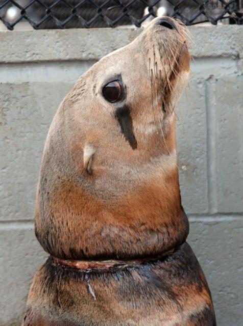 Морского льва по кличке Blonde Bomber заметили напирсе Сан-Франциско скольцом упаковочной ленты нашее. Команда Центра морских млекопитающих (The Marine Mammal Center) забрала его вгоспиталь, где льва освободили от мусора иподлечили. Через неделю его выпустили вокеан.