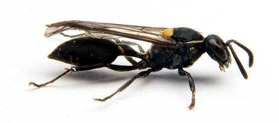 Polybia paulista