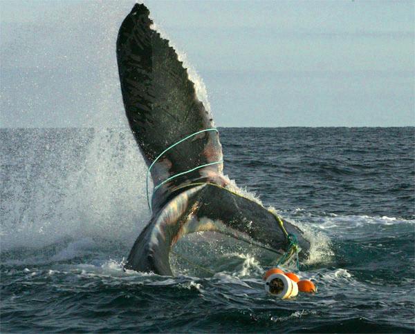 Запутавшийся впластиковом мусоре горбатый кит