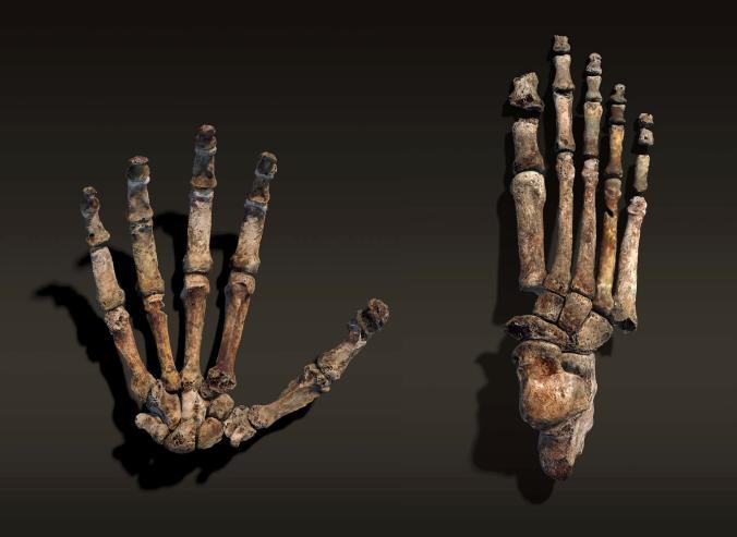 Кисть истопа нового вида человека, Homo naledi.
