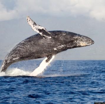 Горбатые киты поднялись по реке Колумбия впоисках пищи