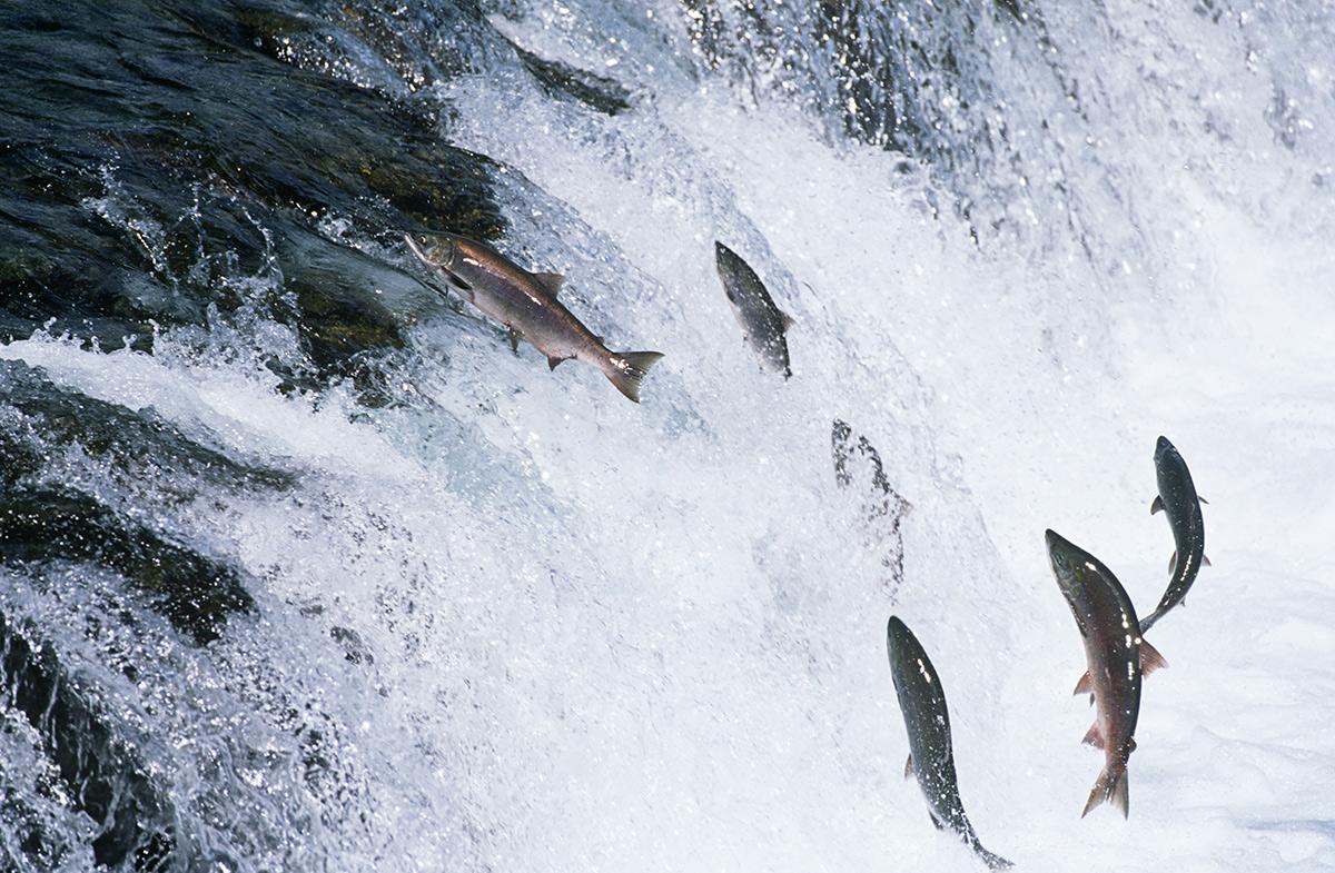 Кместам нереста лососёвые рыбы идут против течения рек, преодолевая пороги ииные препятствия.