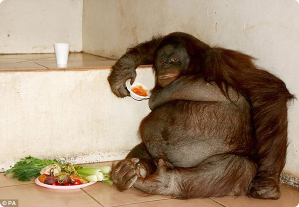 «На овощной диете я непоправлюсь»— как бы говорит эта самка орангутана.