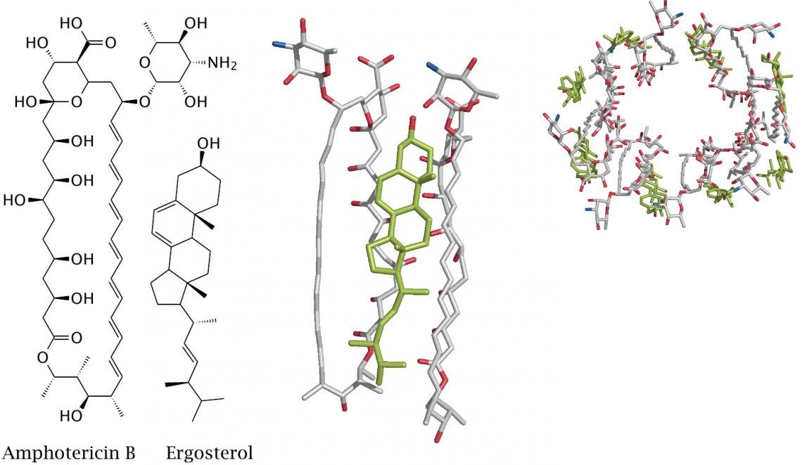 Рисунок 2. Комплекс амфотерицина Bи эргостерола образует кольцевую структуру, которая, встраиваясь вмембрану клетки, создаёт вней ионный канал
