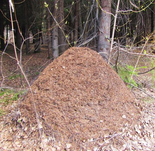 Муравейник рыжих лесных муравьёв, умнейших муравьёв вмире