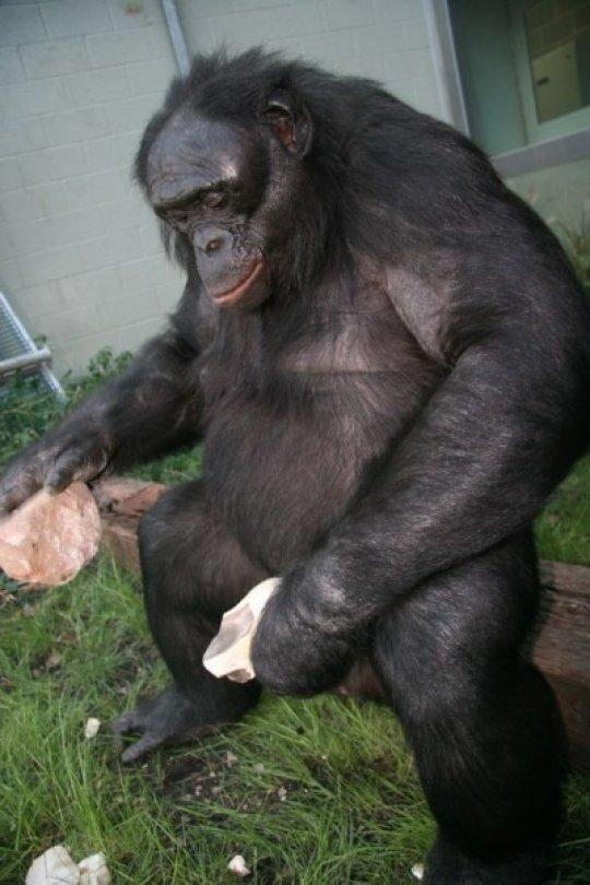 Бонобо, использующий примитивные каменные орудия.