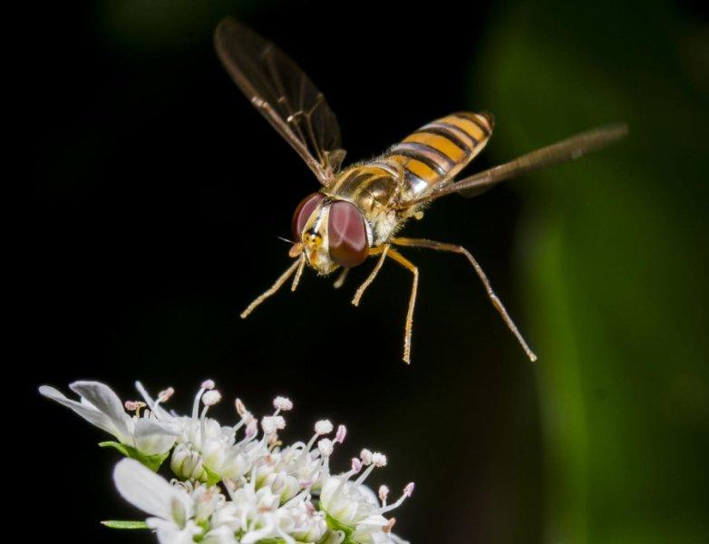 Журчалка (<i>Syrphidae</i>) над цветком.