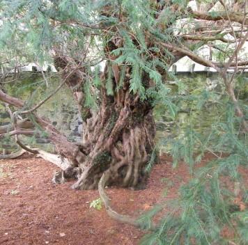 Одно из старейших деревьев мира меняет пол