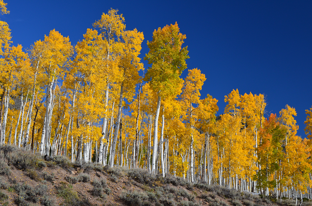 Клональная колония тополя осинообразного Пандо вНациональном лесу Фишлейк вСША, штат Юта. Один из крупнейших идревнейших живых организмов напланете