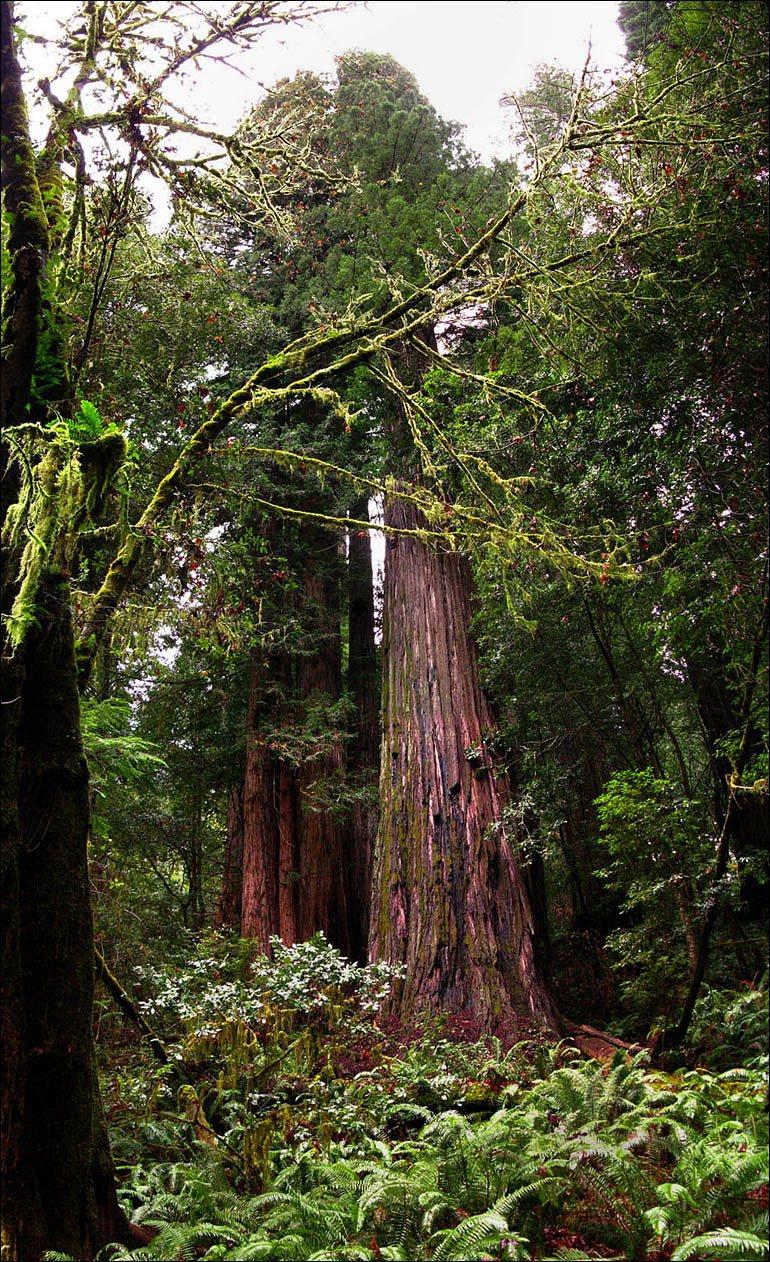 Секвойя Гиперион, самое высокое дерево вмире.  Интересный момент: верхушку Гипериона повредили дятлы (как известно, если дятел недолбит, он либо спит, либо умер), итеперь его догоняет и, возможно, скоро обгонит другая секвойя— Гелиос