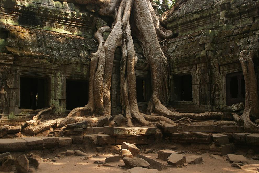 Храм Та Прохм вАнгкоре, Камбоджа, нетак уж стар всравнении со старейшими деревьями, окоторых говорилось выше. Ему всего 829 лет. Оплётшие его баньяны сравнимы сним по возрасту или моложе. Но глядя наэти вросшие вкорни стены, невольно думаешь, что именно так должно выглядеть тысячелетнее тайное убежище древних сил, хранящее таинственные сказочные артефакты. Кслову, именно здесь снимались некоторые сцены блокбастера «Лара Крофт: Расхитительница гробниц»
