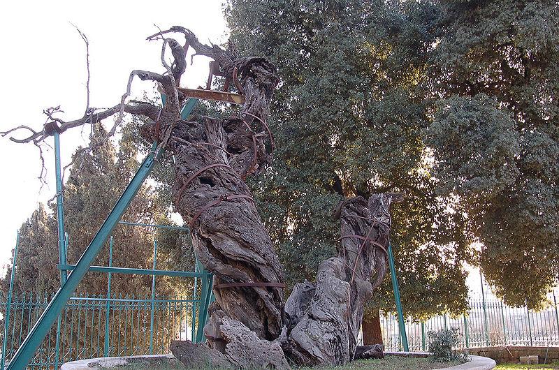 Мамврийский дуб в2008 году