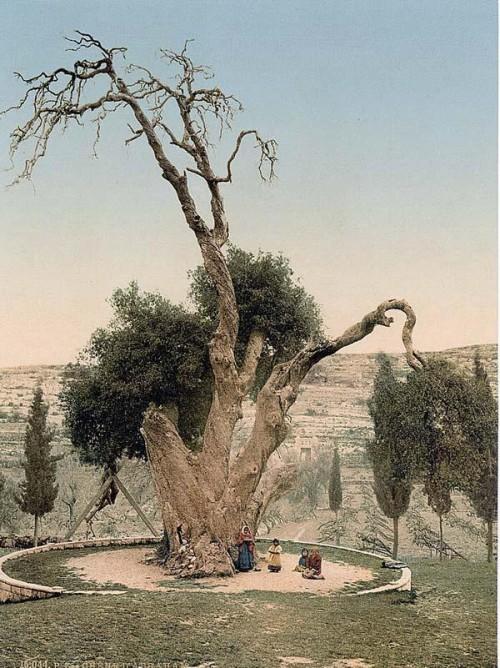 Мамврийский дуб, раскрашенная фотография рубежа XIX—XX веков