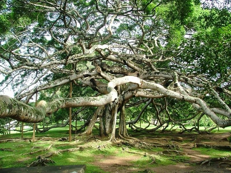 Воздушные корни баньяна Thimmamma Marrimanu