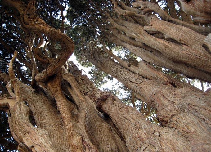 Сердцевина Абаркухского Кипариса также утеряна. Более молодые ответвления позже вновь срослись почти вединый ствол, но точное определение возраста дерева затруднено