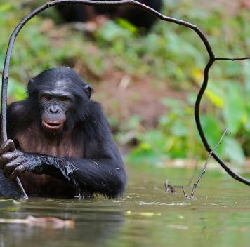 Бонобо могут изготавливать ииспользовать орудия
