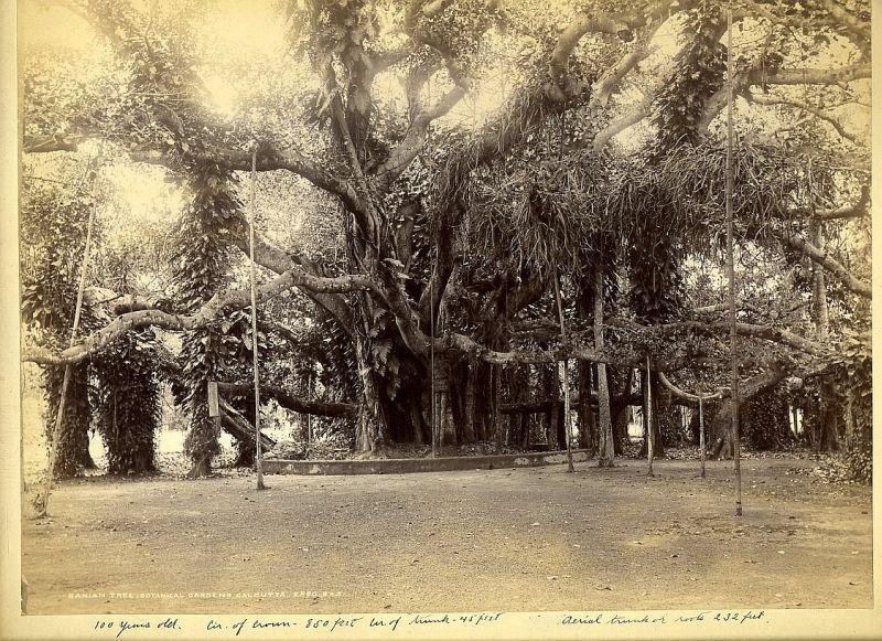 Великий Баньян, Калькутта, ботанический сад, фото XIX века