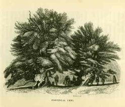 В 1822 году Фортингэльский тис выглядел так