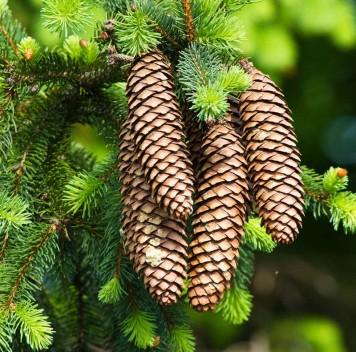 Хвойные деревья удвоили свой геном входе эволюции