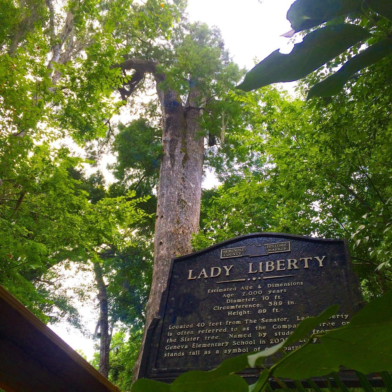 Леди Свобода растёт внациональном парке воФлориде.Вместе сосвоим старшим соседом Сенатором она служила ориентиром ещё индейцам-семинолам.