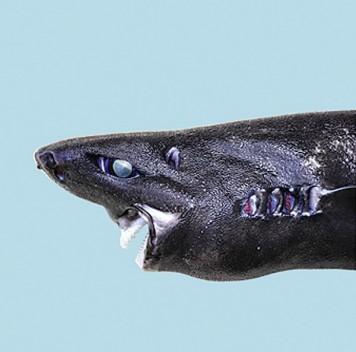 Описан новый вид светящихся акул— акула-ниндзя