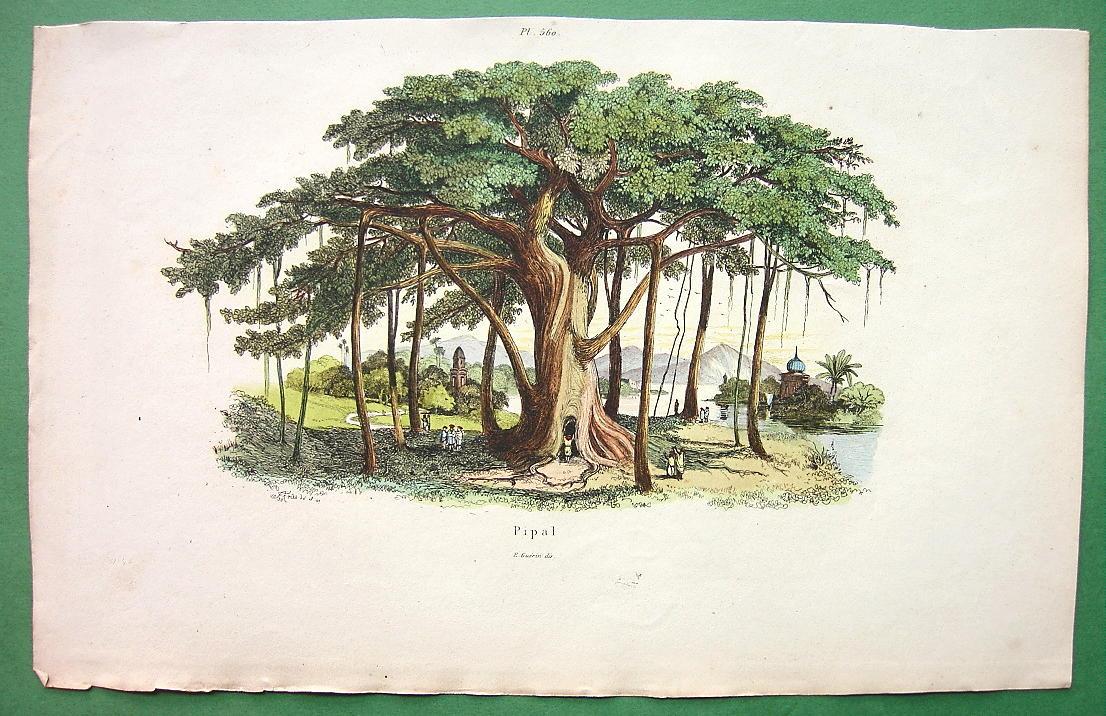 Дерево пипал (фикус религиозный). Рисунок 1836 года