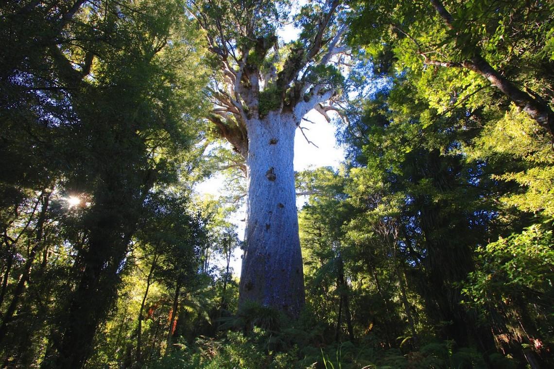 Новозеландское дерево-каури Тане Махута выглядит идеальным сказочным тысячелетним исполином. Но оно совершенно реально, иему, всамом деле, 2000 лет