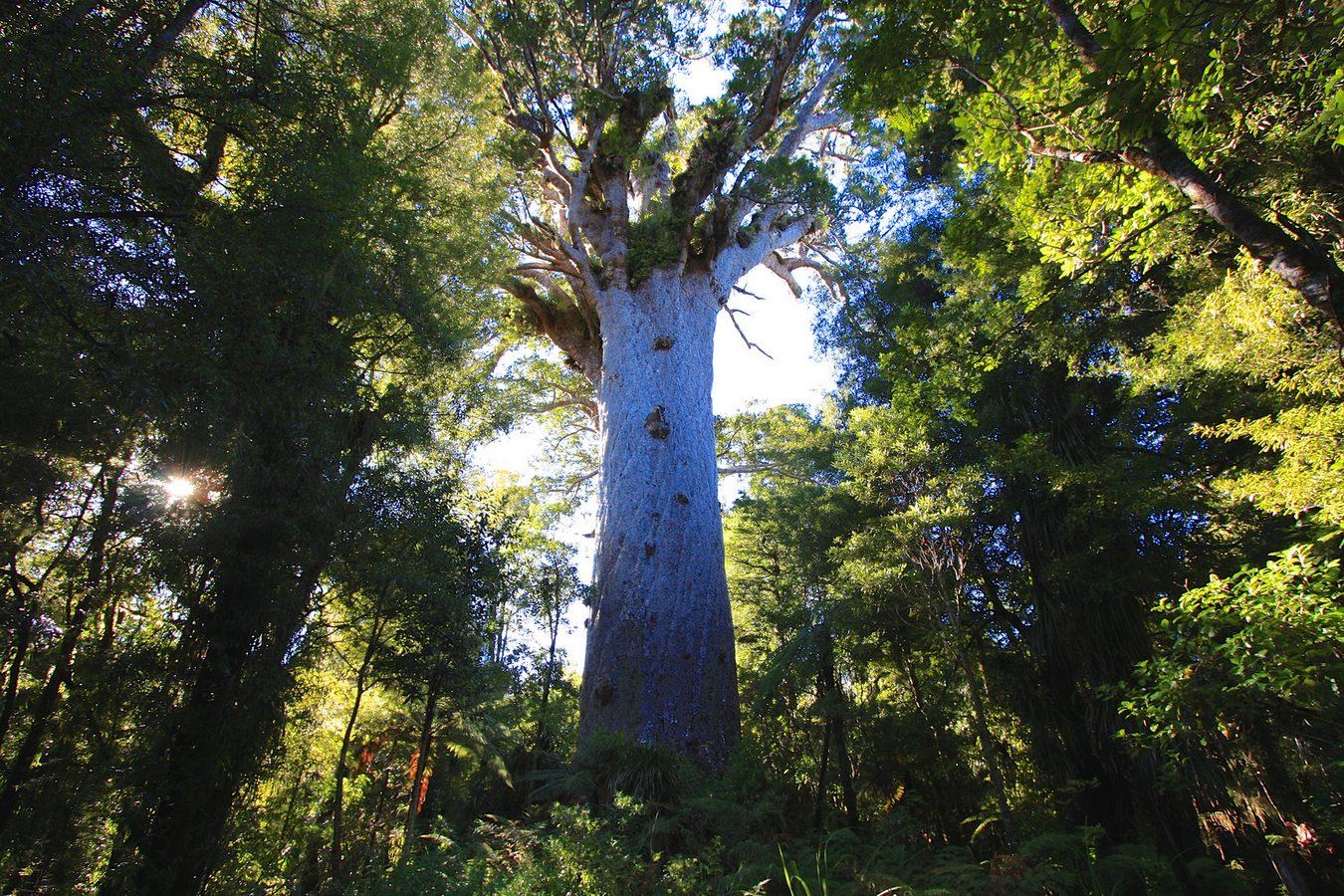 Новозеландское дерево-каури Тане Махута выглядит идеальным сказочным тысячелетним исполином. Но оно совершенно реально иему всамом деле 2000 лет