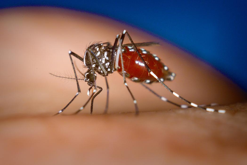 Азиатский тигровый комар (<i>Aedes albopictus</i>)— один из переносчиков вируса Зика.