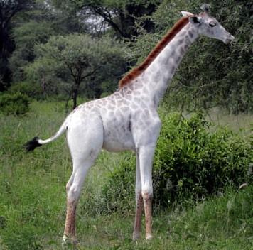 Редкий белый жираф замечен вТанзании
