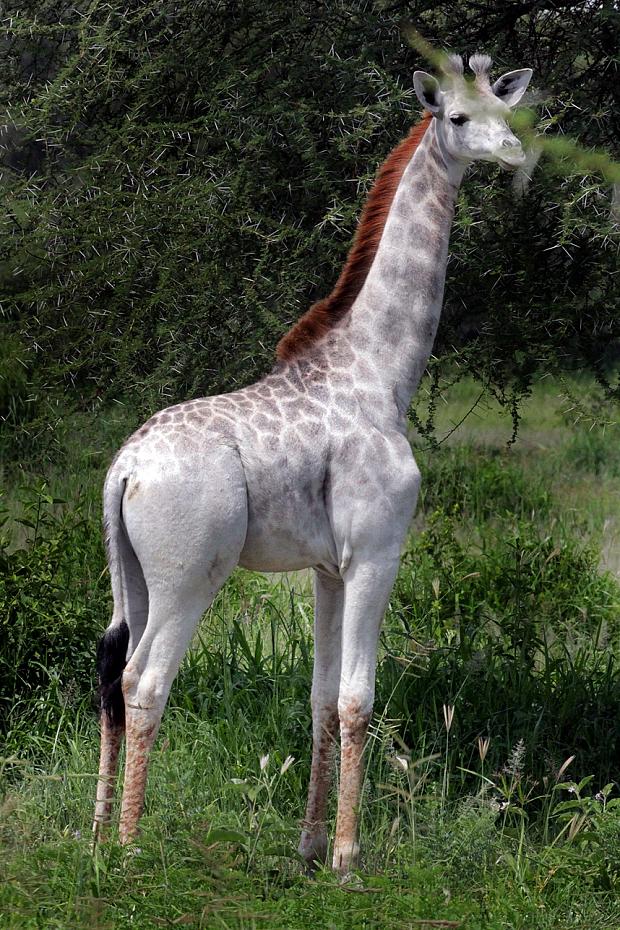 Имя Омо необычно окрашенная жирафа получила вчесть популярного вТанзании моющего средства