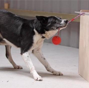 Разработан первый быстрый IQ-тест для собак