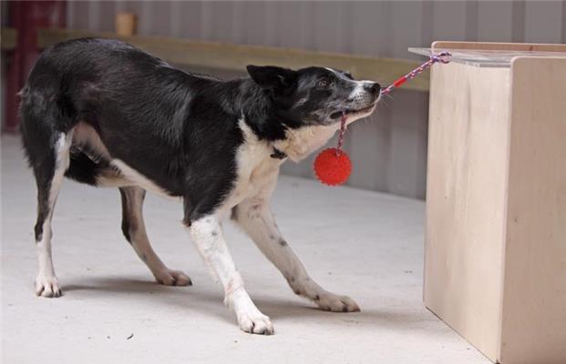 IQ-тест для собак