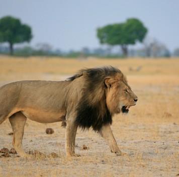 Львам вредит соседство слюдьми