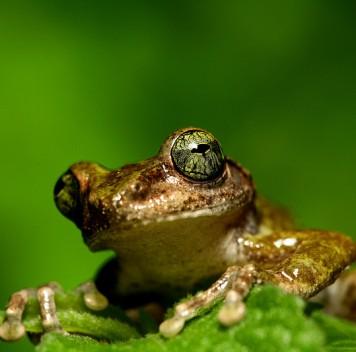 Открыты новые виды веслоногих древесных лягушек