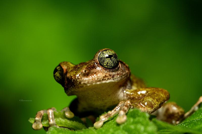 Лягушка вида <i>Kurixalus berylliniris</i>.