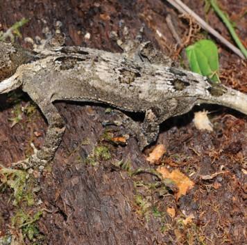 «Король» и«рыцарь»: два вида гекконов открыты наНовой Гвинее