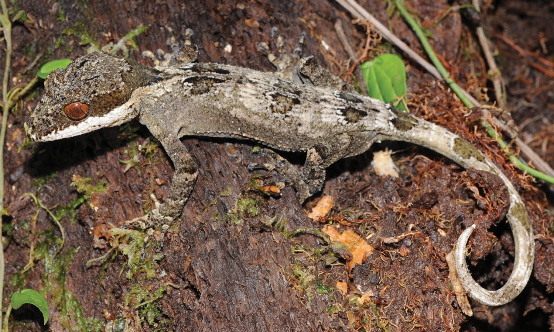 <i>Cyrtodactylus rex</i> вестественной среде обитания. Бассейн реки Сепик, провинция Сандаун.