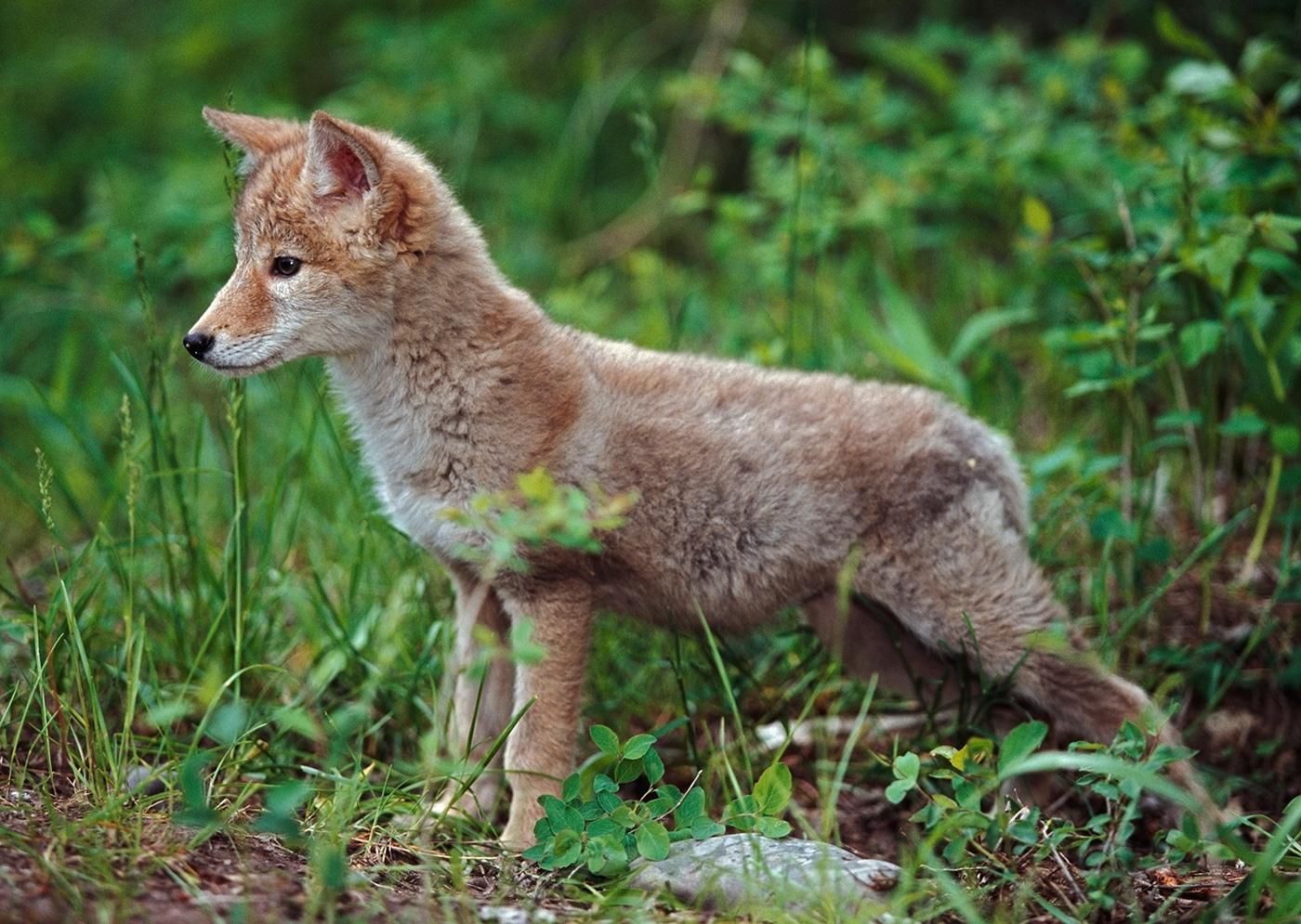 Детёныш койота