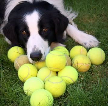 Интеллект собак зависит от способности ксамоконтролю