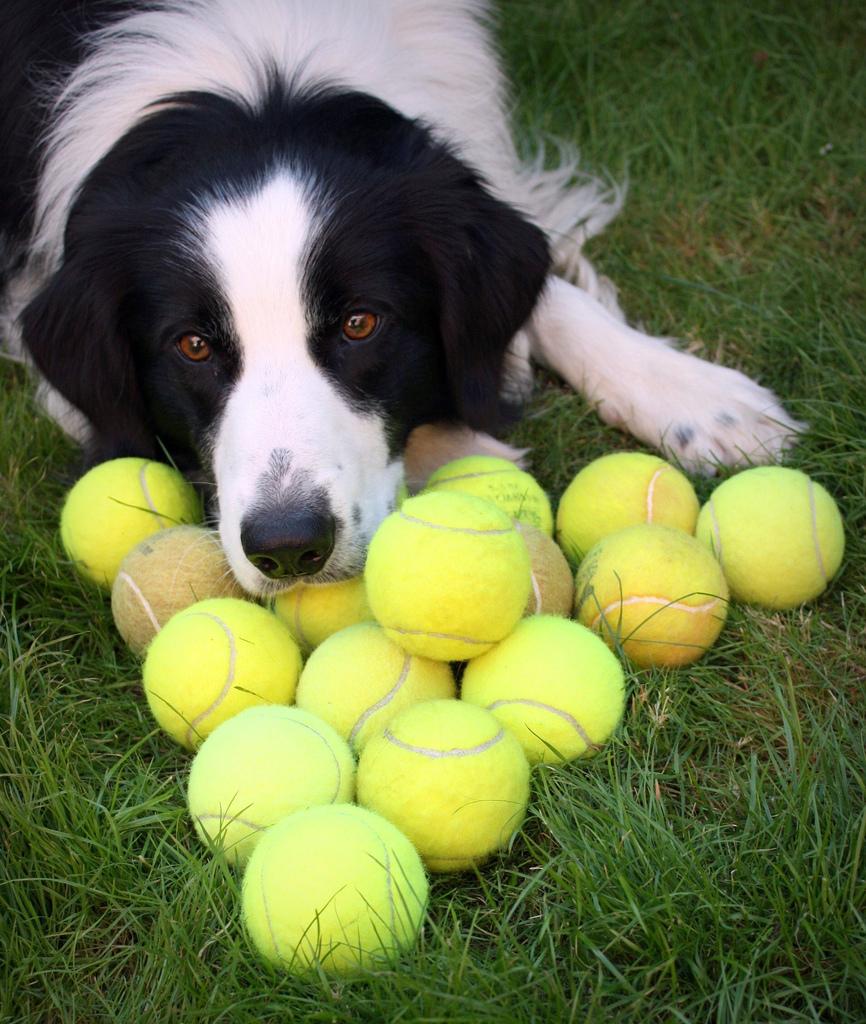 Собака породы «Бордер-колли».