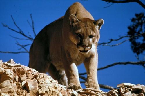 Пума, она же горный лев, она же кугуар