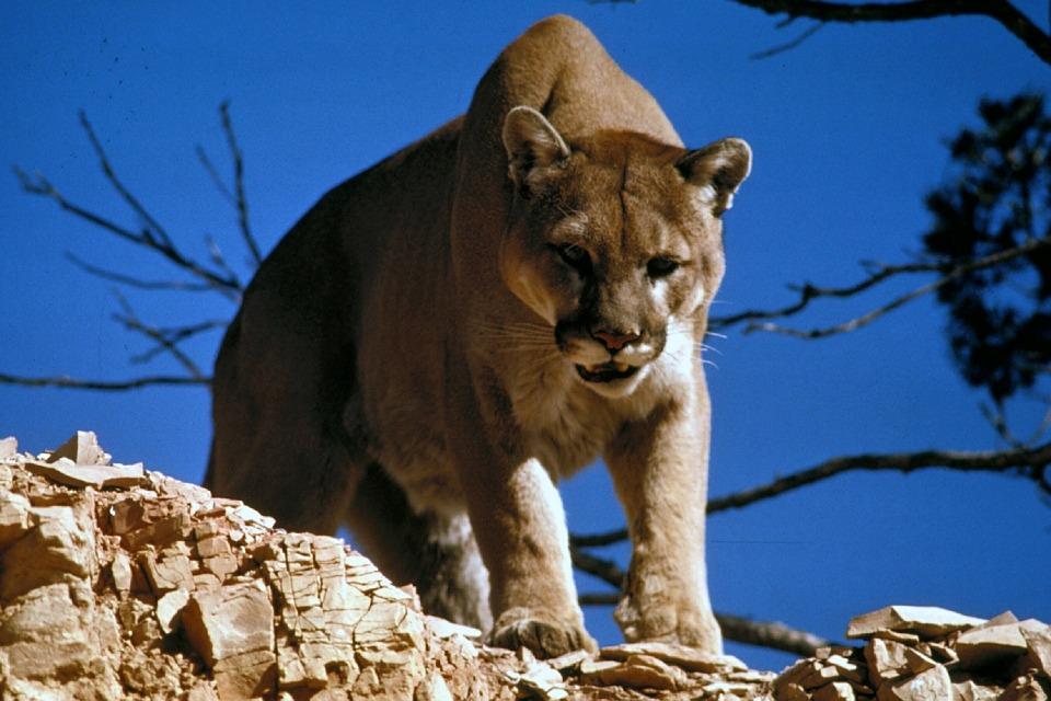 Пума, она же горный лев, она же кугуар.