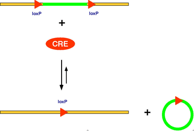 Принцип действия рекомбиназы Cre