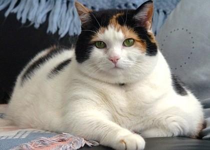 Кошки, страдающие от ожирения, больше подвержены риску развития диабета исердечно-сосудистых заболеваний.